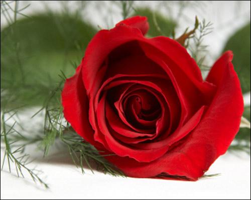 http://mrsaactionuk.net/images/Marion%27s%20tribute/red_rose.jpg